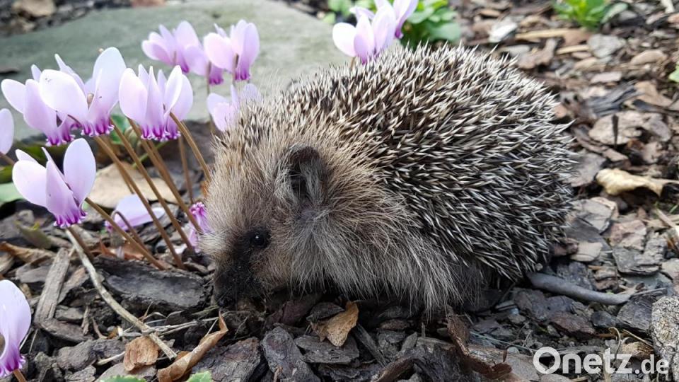 Igel Im Garten Futter Winterschlaf Erste Hilfe Onetz