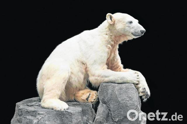 Eisbär Knut Im Naturkundemuseum Leiden Onetz