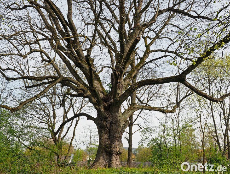 Klettergerüst Um Baum : Der älteste baum ambergs onetz