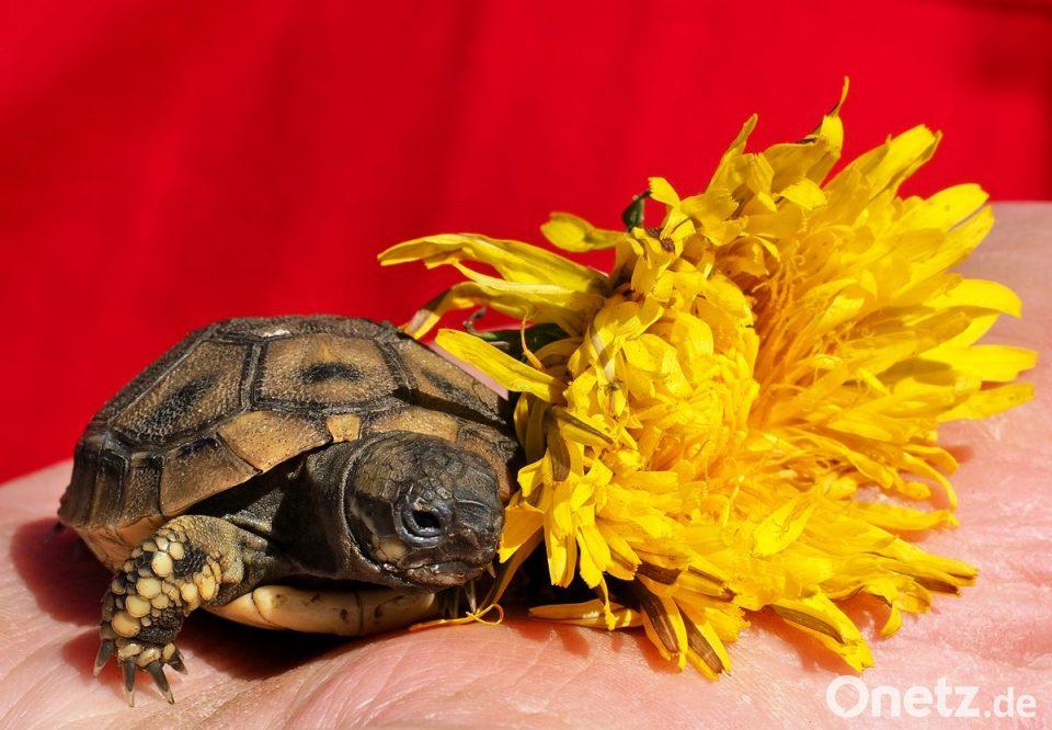 Kleiner Kühlschrank Für Schildkröten : Ganze armada aus panzern mit beinchen onetz