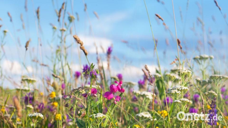 Eine Blumenwiese Anlegen Onetz
