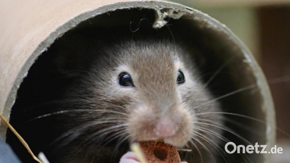 Streit Um Hamster Und Haschen Onetz