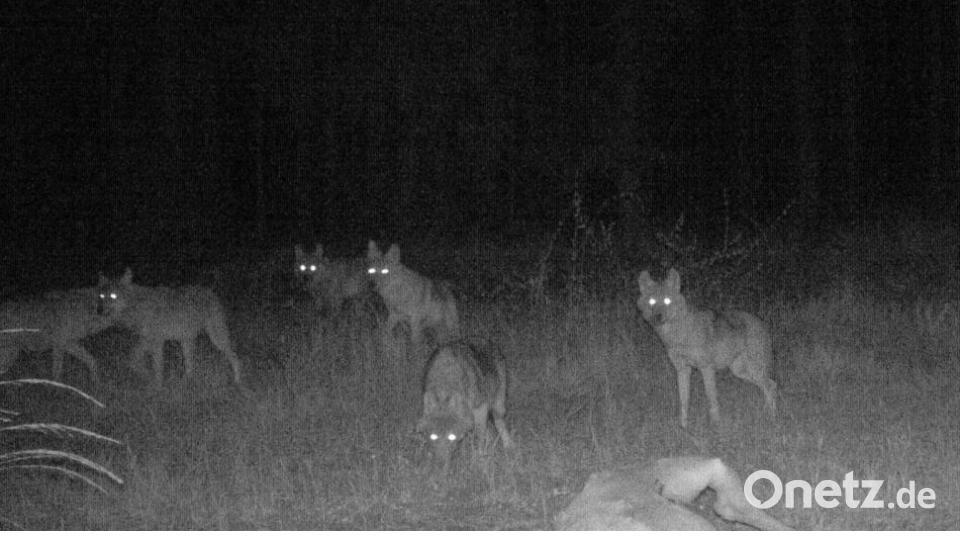 Wolfswelpen im Manteler Forst